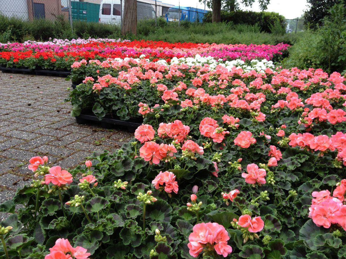 Een fleurige tuin, terras of balkon met de bloemen van Con Forza.